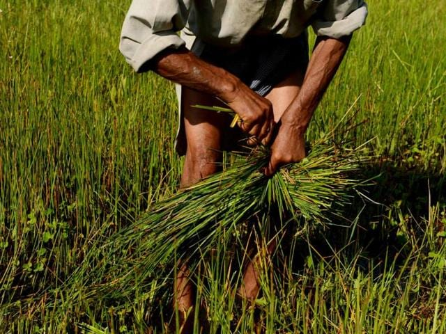 A-Kashmiri-farmer-cuts-weeds-in-a-paddy-field-in-Srinagar-AFP-photo