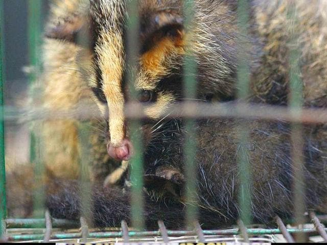 Palm-civet-representative-photo-AFP