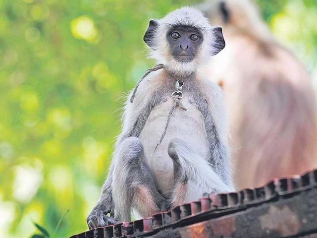 A-court-appointed-monkey-rehabilitation-committee-met-recently-to-explore-options-to-contain-the-alarming-growth-of-monkeys-and-decided-to-conduct-a-census-Arvind-Yadav-HT-photo