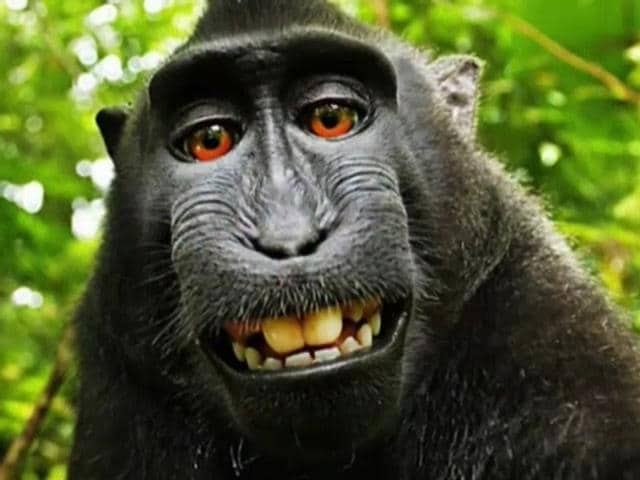 monkey selfie,black macaque,black macaque selfie