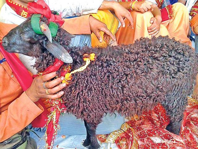 sheep,four-horned sheep,Nanda Devi Rajjat Yatra