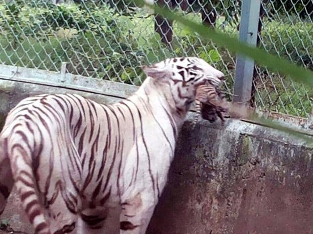 A-white-tigress-holds-her-newborn-cub-at-Kamla-Nehru-Zoo-in-Indore-She-gave-birth-to-four-cubs-on-Friday-morning-Shankar-Mourya-HT-photo