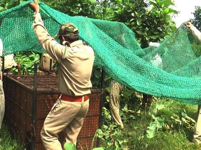 A-man-eater-panther-was-finally-caught-in-Alirajpur-by-the-forest-department-on-Thursday-HT-photo