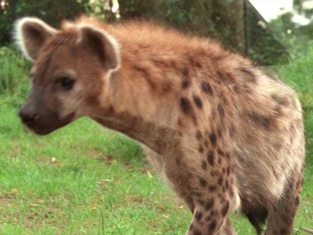 File-photo-of-a-hyena-AFP-Photo
