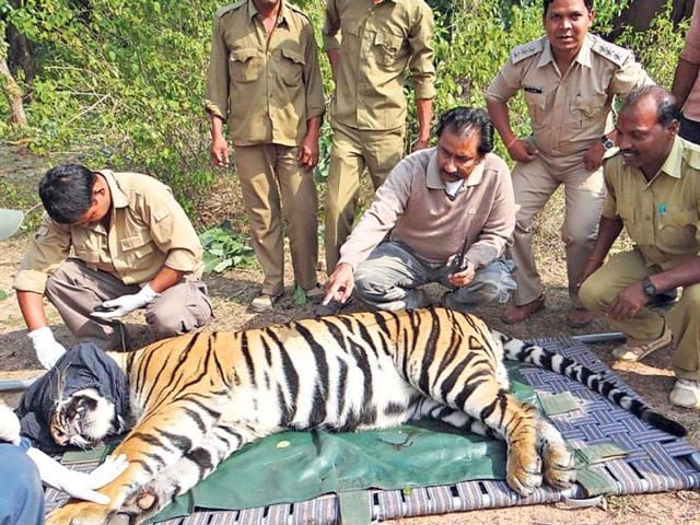 Two-tiger-cubs-involved-in-killing-four-people-in-the-past-seven-months-including-a-teacher-were-captured-near-Khitoli-range-of-Bandhavgarh-National-Park-on-Monday-HT-photo