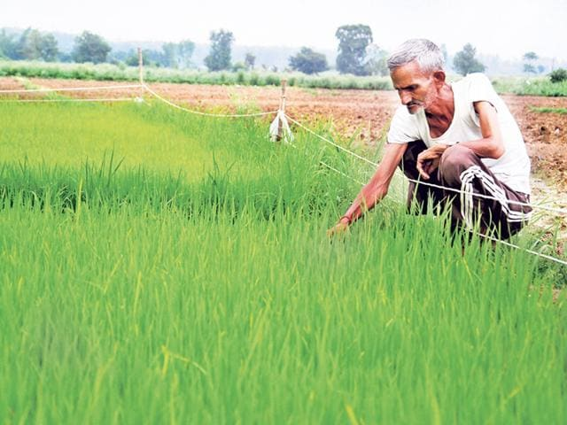 Experts-say-many-farmers-had-taken-to-Basmati-growing-leaving-soybean-as-the-main-crop-in-the-Narmada-belt-HT-file-photo