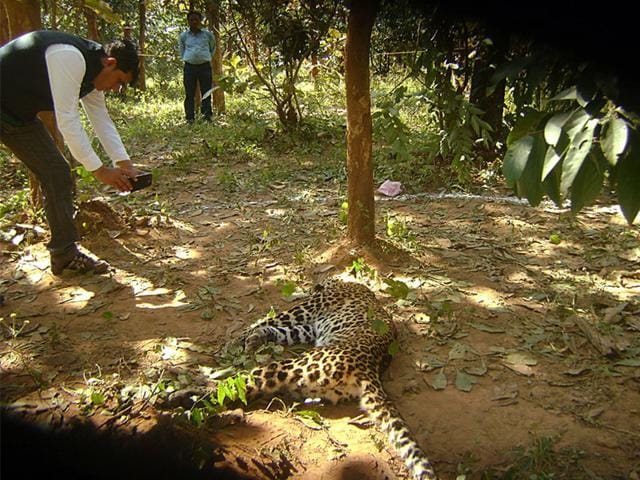 The-female-leopard-that-was-electrocuted-in-South-Ukawa-forest-range-of-district-Balaghat-on-Saturday-HT-photo