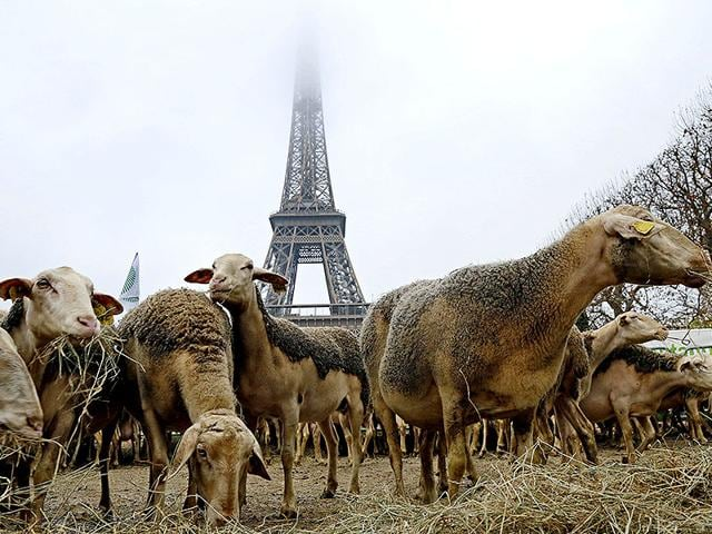 French-shepherds-with-around-250-sheep-staged-a-protest-in-central-Paris-against-the-French-government-s-Plan-Loup-wolf-plan-introduced-to-try-to-pacify-shepherds-and-protect-wolves-ahead-a-meeting-with-French-agriculture-minister--Reuters