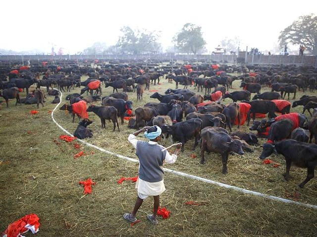 A-herder-stands-inside-an-enclosure-for-buffalos-awaiting-sacrifice-on-the-eve-of-the-sacrificial-ceremony-for-the-Gadhimai-Mela-festival-in-Bariyapur-Reuters-Photo