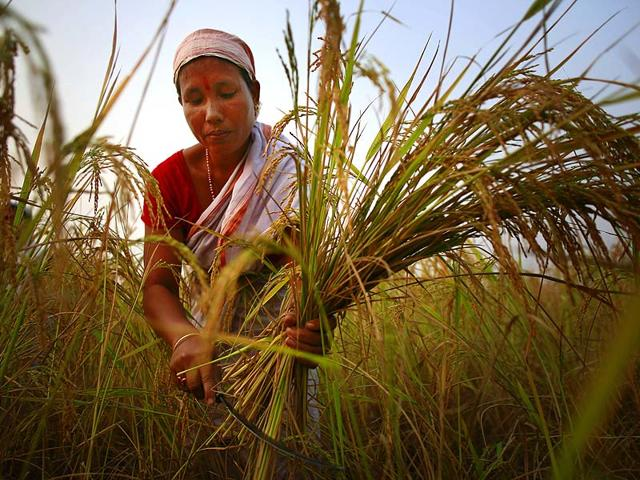Data-on-India-s-GDP-growth-will-tell-us-if-the-economy-is-back-to-growth-In-this-picture-a-woman-harvests-a-paddy-field-near-Guwahati-AP
