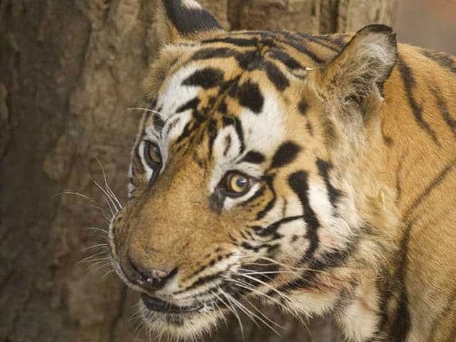Kusum-Mehdele-has-sought-a-law-that-allows-people-to-domesticate-or-keep-as-pets-big-cats-like-lions-and-tigers-for-their-conservation-HT-photo
