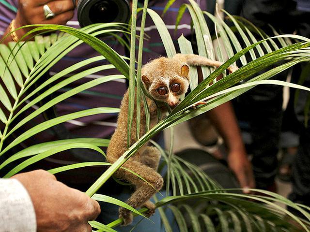 endangered mammals,slender lorises