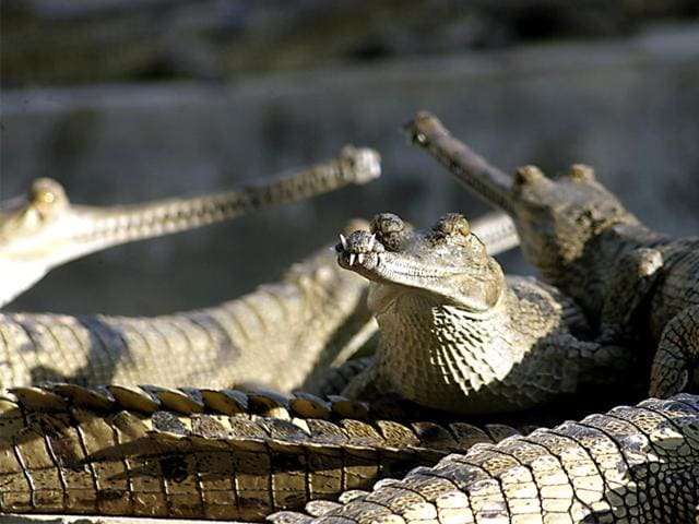 According-to-wildlife-experts-less-than-400-Ghariyals-survive-in-the-world-today-HT-photo