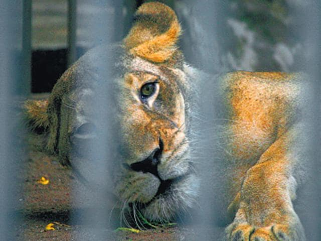 Jimmy,lioness,byculla zoo