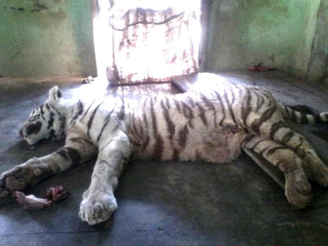 A-white-tiger-died-at-an-Indore-zoo-Saturday-after-being-bitten-by-a-snake-HT-photo