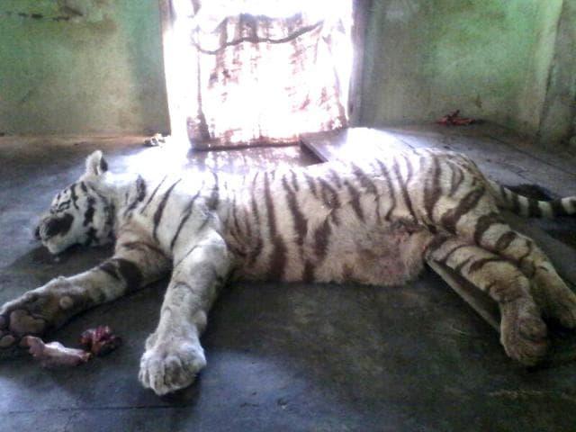 Madhya Pradesh,tigers,Bhopal