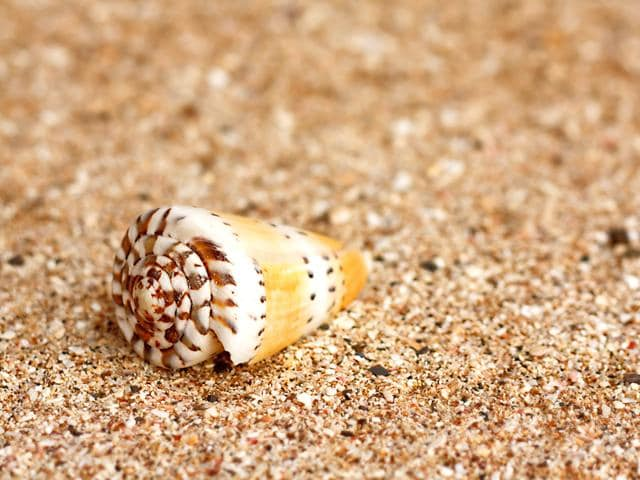 The-venom-of-a-particular-species-of-cone-snail-Conus-regius-is-particularly-rich-in-alpha-conotoxins-Photo-Shutterstock