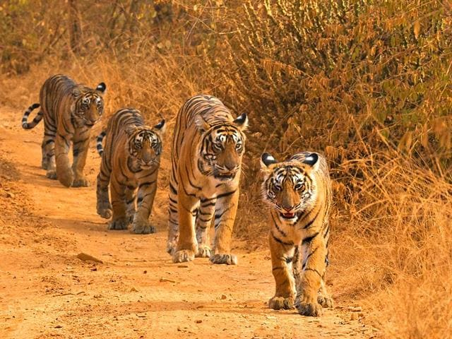 Concerted-efforts-by-the-government-and-NGOs-have-helped-increase-the-number-of-India-s-national-Animal