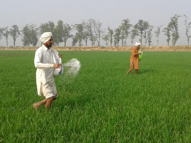 Farmers-scattering-urea-on-the-fields-HT-Photo
