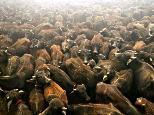 Maharashtra beef ban: Police seek 'mugshots' of cows