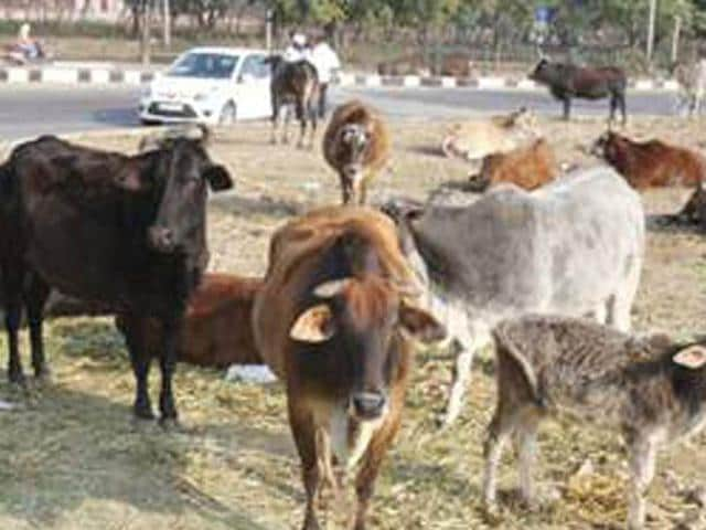 Stray-cattle-is-the-growing-menace-for-the-commuters-in-the-city-area-HT-Photo