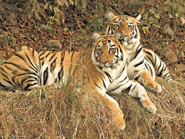 tigers,special task force,Pilibhit Tiger Reserve