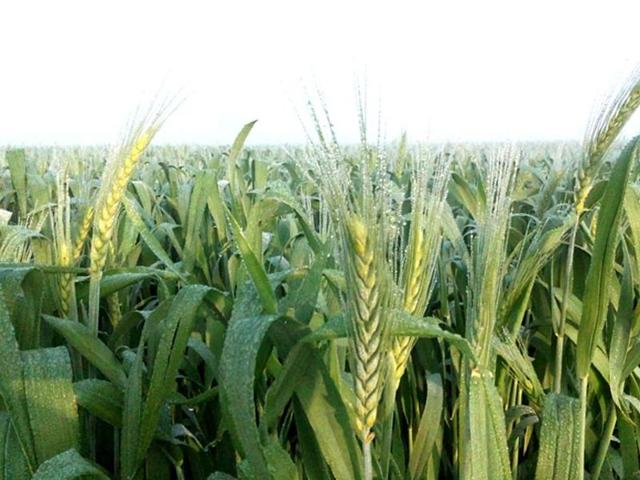 'Food bowl' Punjab may not achieve bumper wheat output