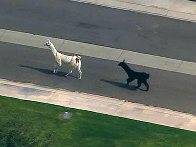 Llamas-on-the-run
