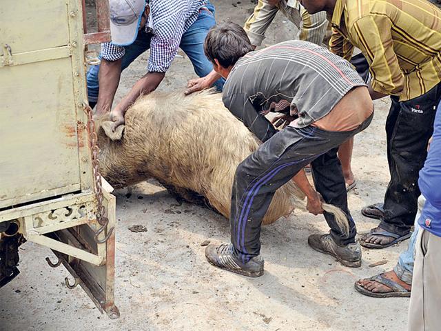 pigs,Sagar,Madhya Pradesh
