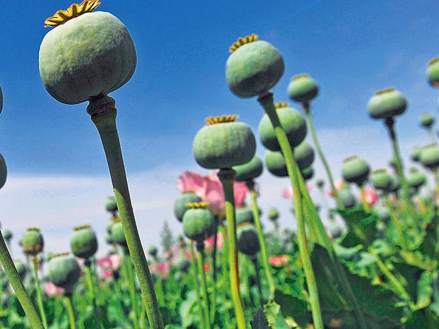 Offical opium users,Bori Bunder depot,Opium users in Maharashtra