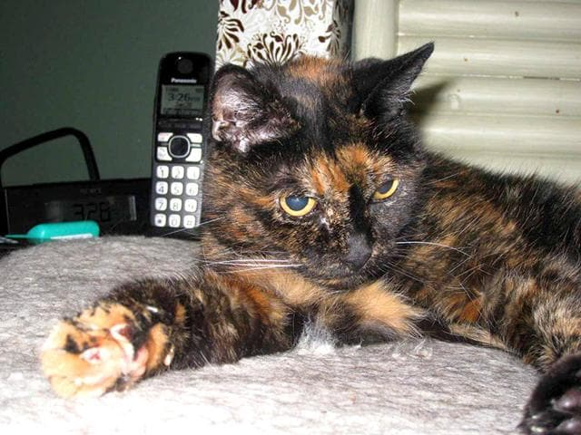 World-s-oldest-living-cat-Tiffany-Two-Photo-tweeted-by-Guinness-World-Records