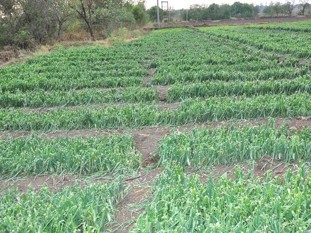 Unseasonal rains take a toll on wheat, fruit crops; farmers take a hit