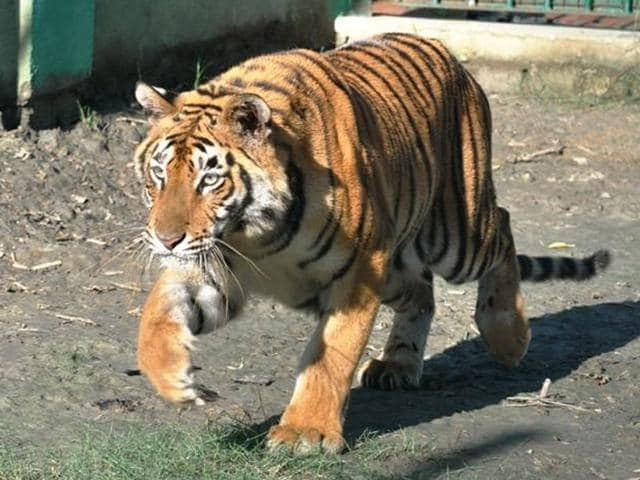 Picture-of-the-five-year-old--tigress-that-died