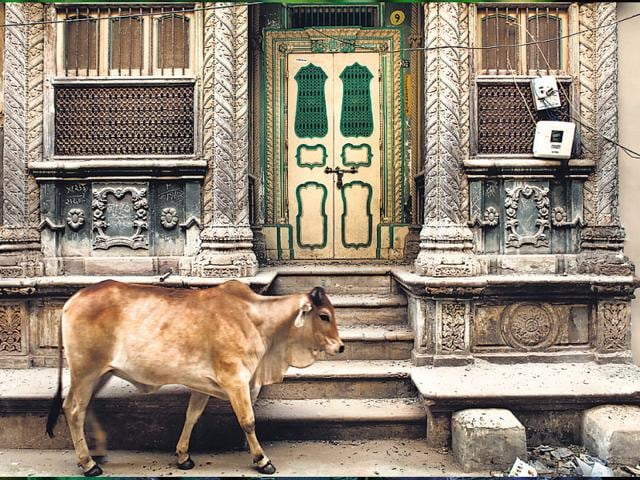 Cow-in-Vohrawad