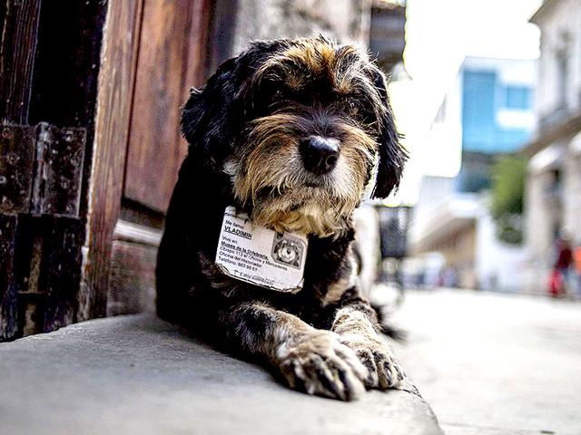 A-street-dog-wears-an-ID-collar-that-gives-its-name-and-residence-as-he-sits-at-the-entrance-of-the-Old-Havana-Museum-of-Metalwork-in-Havana-Cuba-AP-Photo