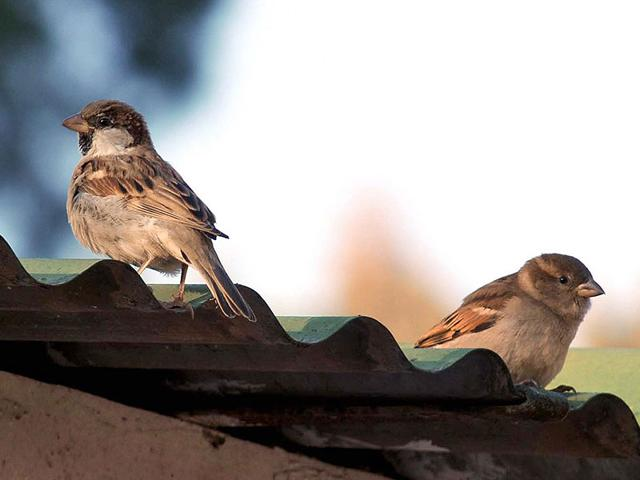 Sparrows-on-a-house-roof-in-Dehradun-HT-file-photo