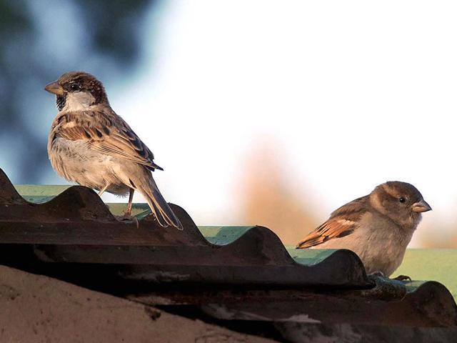 Sparrows,birds,extinct
