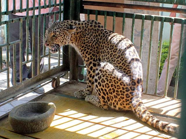 The--leopard-which-was-trapped-by-forest-department-near-Sodliya-village-under-Tirla-block-in-Indore-on-Saturday-Shankar-Mourya-HT-photo