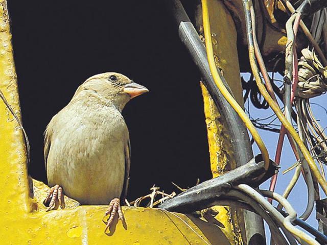 delhi sparrows,world sparrow day,vanishing sparrows