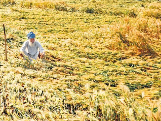 A-farmer-checks-his-wheat-crop-damaged-in-the-rain-in-a-village-near-Amritsar-Sameer-Sehgal-HT-Photo