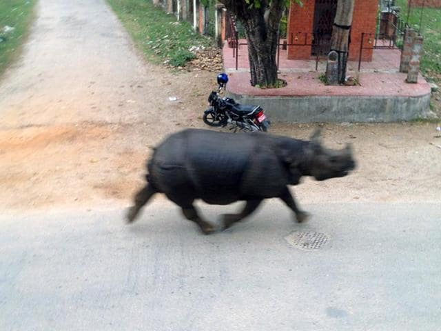 A-runaway-rhinoceros-travels-along-a-road-in-Hetauda-Makawanpur-district-in-Nepal-terrifying-commuters-as-its-rampage-left-one-dead-and-six-injured-AFP-Photo