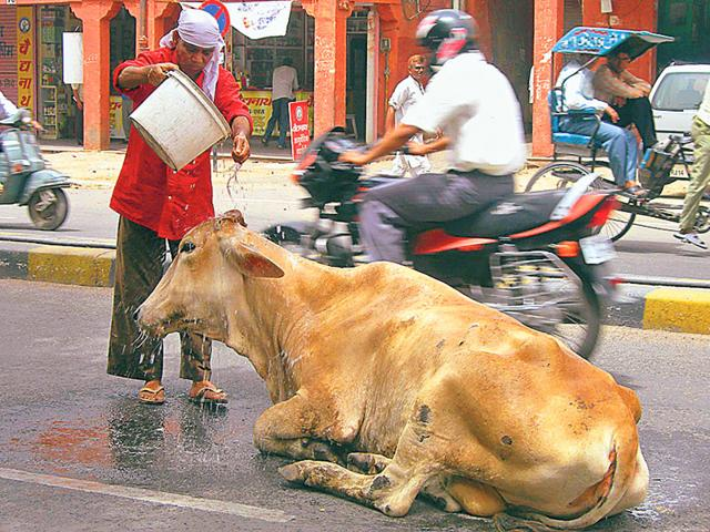 Officials-feel-cattle-abandoned-on-roads-are-becoming-a-traffic-hazard-HT-Photo