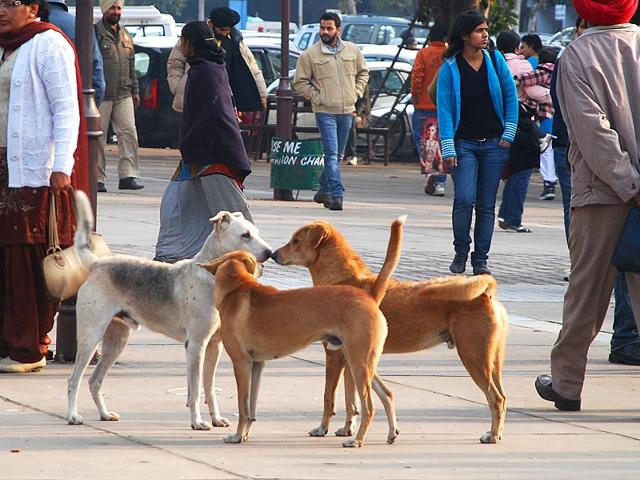 Packs-of-stray-dogs-wandering-aimlessly-in-city-markets-and-residential-areas-have-become-a-common-sight-even-as-the-civic-authorities-have-failed-to-take-any-effective-measure-to-curb-the-meance-HT--Photo