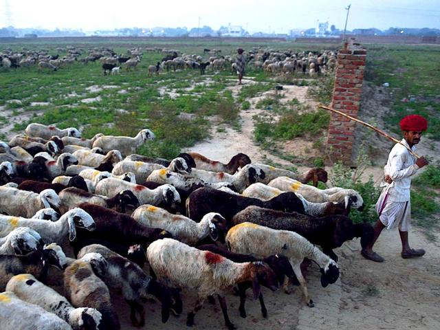 Nomadic-shepherd-Lassa-Ram-30-leads-his-sheep-out-to-graze-at-the-start-of-the-day-at-his-family-s-camp-in-Sikri-in-Faridabad-AFP-Photo