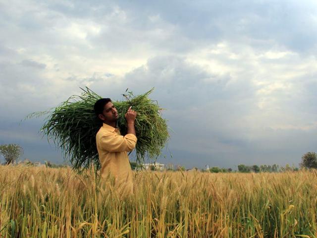 A new rain threat: discolouration of grains