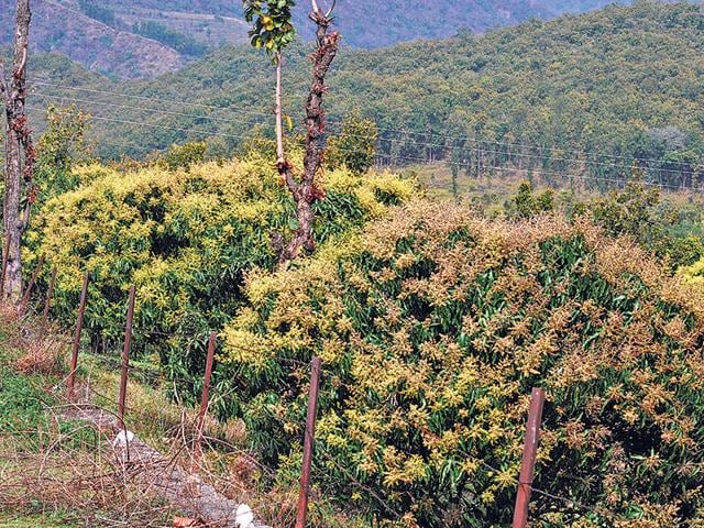 Mango-blossoms-on-trees-at-a-farm-on-the-outskirts-of-Dehradun-HT-Photo