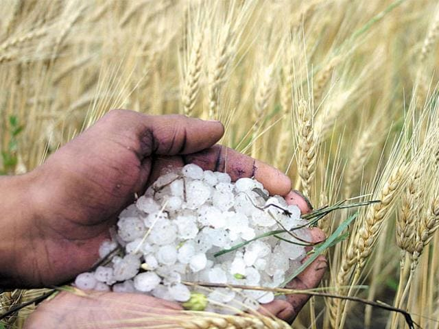 Unseasonal-rain-and-hailstorms-have-affected-nearly-80-crop-in-33-districts-of-the-state-HT-file-photo