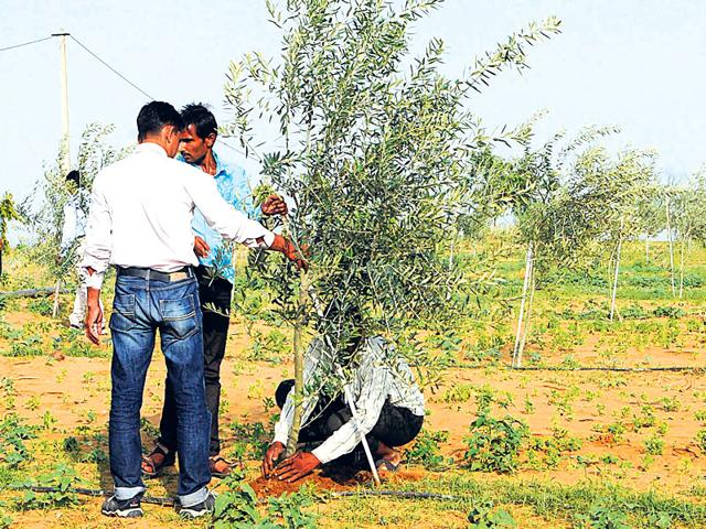 Officials-take-a-look-at-an-olive-plant-at-Rajgarh-nursery-in-Tonk-Himanshu-Vyas-HT-Photo