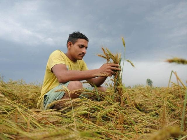 A-farmer-checks-his-wheat-crop-damaged-in-the-rain-in-a-village-near-Amritsar-Sameer-Sehgal-HT-Photo