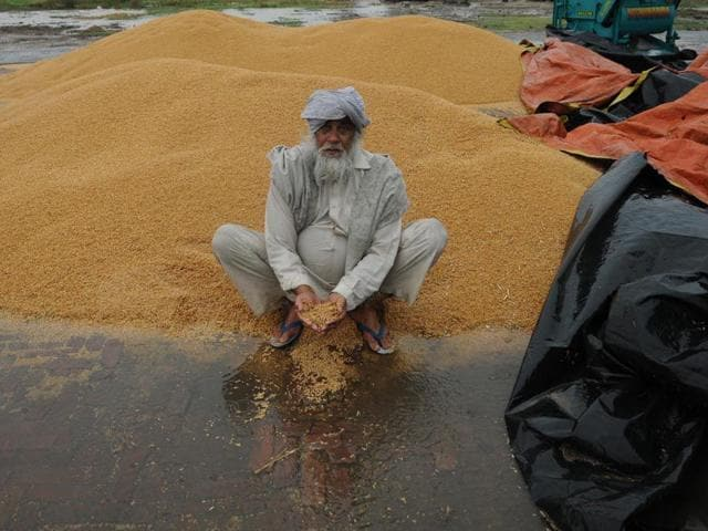 A-farmer-showing-his-wheat-crop-during-rainfall-at-village-Mehmadpur-open-grain-market-in-Patiala-district-Bharat-Bhushan-HT